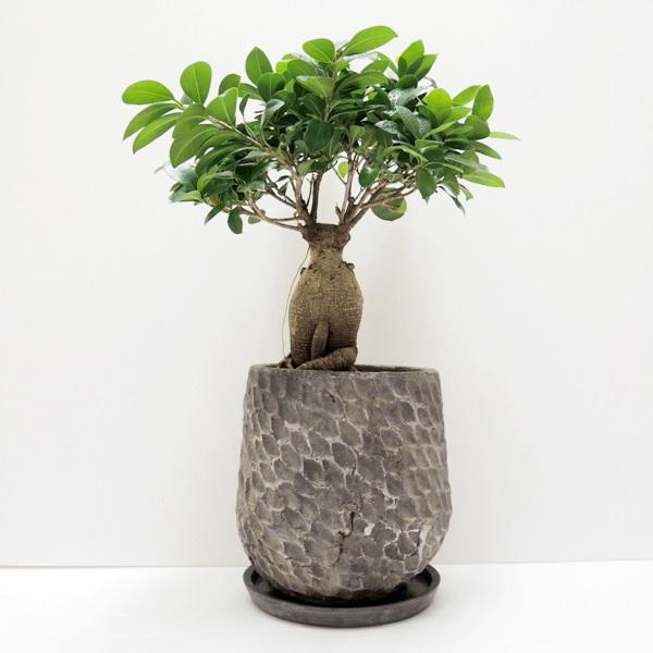 """【唯一無二】ボトルツリーのミニチュア大木みたいな""""ガジュマル"""""""
