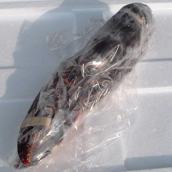 【2】【単価1680円/kg】【単位5kg】生冷 オマールロブスター ハネ 良品