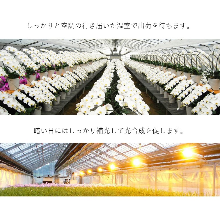 「セブ」 アヤ/モモ2本立 【数量限定】 ミディ胡蝶蘭 送料無料 ガラス花器