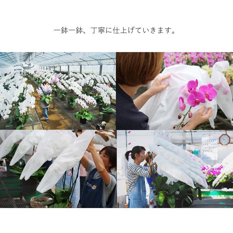 ホワイトロッキー3本立 【レギュラー】 大輪胡蝶蘭 ラッピング付 MS-02