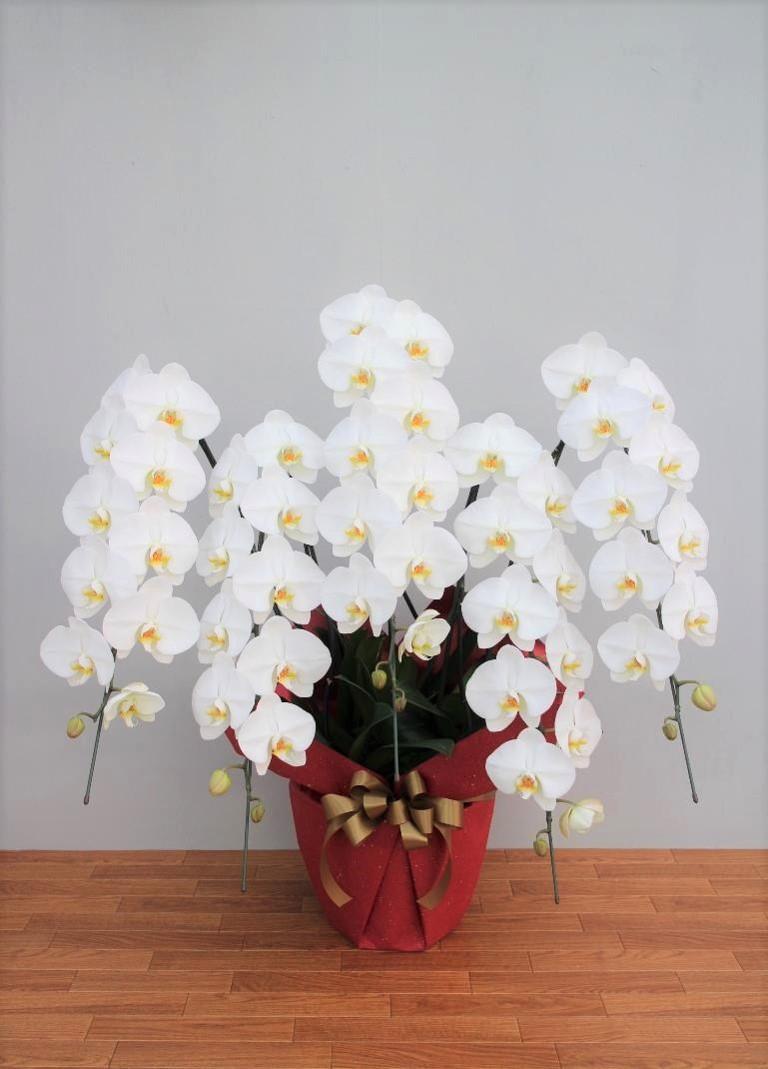 ホワイトロッキー5本立 【ショート】 大輪胡蝶蘭  ラッピング付き TS-01