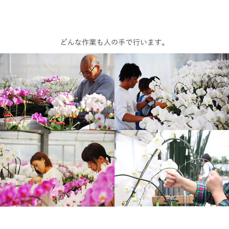アヤ/モモ3本立 ミディ胡蝶蘭 選べるラッピング(ローズ) MA-06