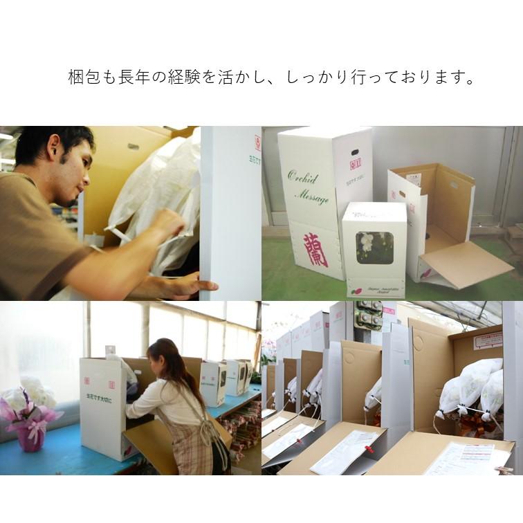 タイアン/ルシアン 3本立 ミディ胡蝶蘭 ラッピング選択可能 MA-03