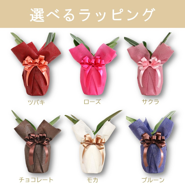 フォーチュンザルツマン3本立 ミディ胡蝶蘭 選べるラッピング(チョコレート) MA-01