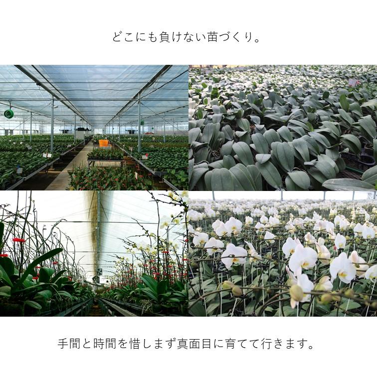 ミディ胡蝶蘭 アヤ/モモ 5本立 選べるラッピング(ローズ) MG-05