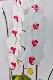 ハイグレードコチョウラン 白赤 3本立ち 40輪