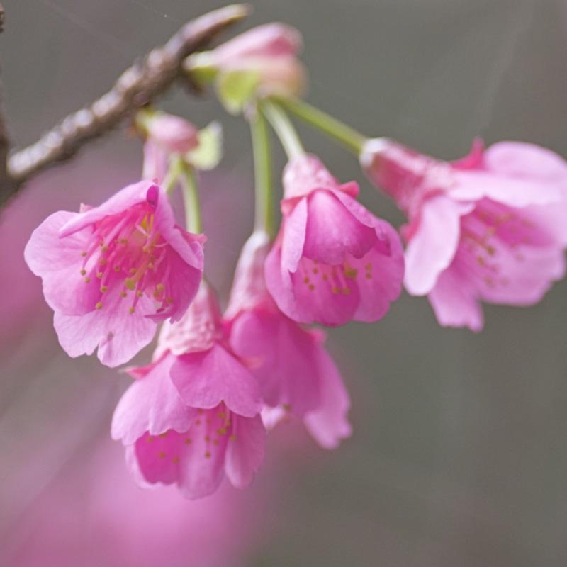 緋寒桜フラワーエッセンス《シャンドゥルール》20ml