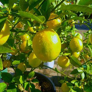 レモン(浄化) 《フローラコロナ》15ml
