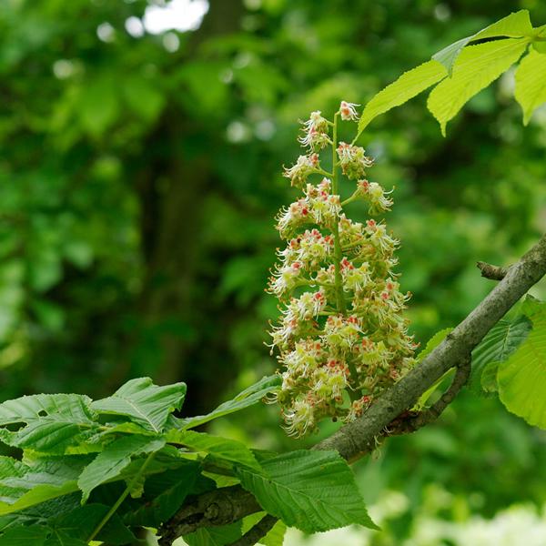 【数量限定!】秋田県産マロニエ蜂蜜1kg(詰め替え容器付き)