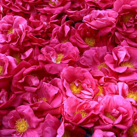 秋田薔薇園産 ガリカ薔薇ジャム