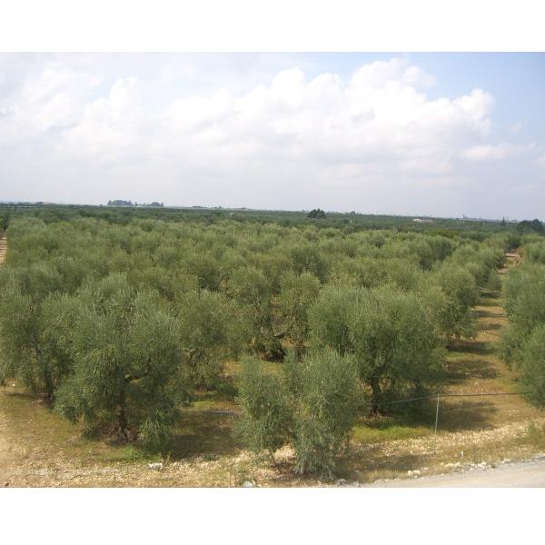有機栽培エクストラバージンオリーブオイル アルティジャーノ