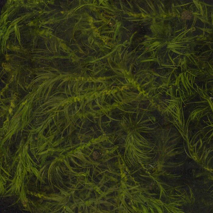 苔プリ シッポゴケ S :そらーる ノンスケール kp024