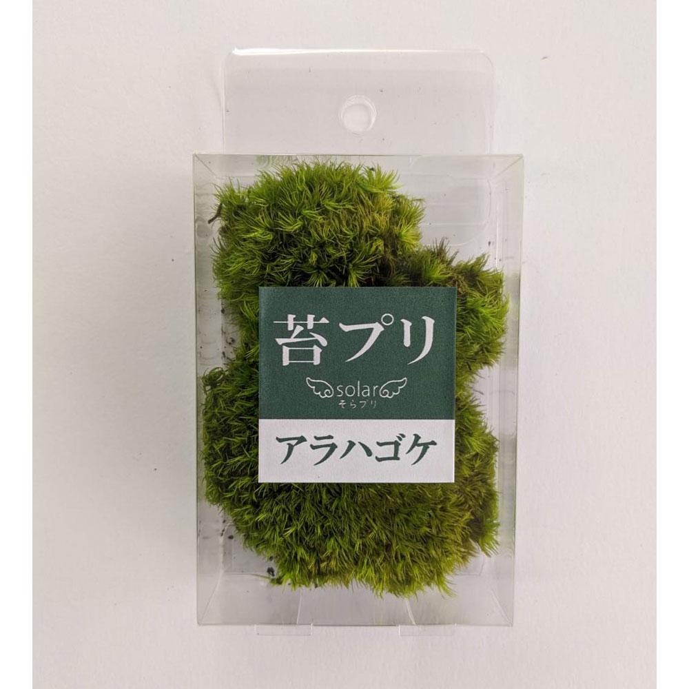 苔プリ アラハゴケ (山ゴケ)S :そらーる ノンスケール kp023