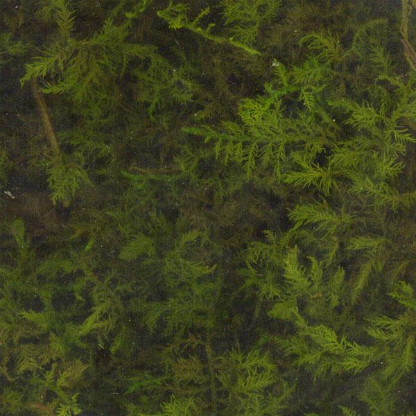 苔プリ シノブゴケ S :そらーる ノンスケール kp017