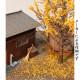 銀杏 落ち葉 :木草BUNKO 素材 ノンスケール G7