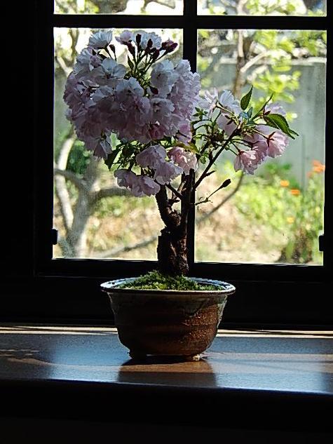 さくら盆栽 自宅で 桜のお花見 4月に八重桜が楽しめます