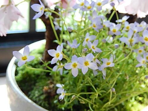 お誕生日の プレゼントに 4月に さくらのお花見を 楽しむ 桜盆栽  盆栽桜