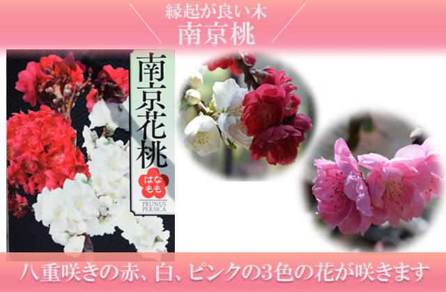 縁起の良い鉢植え源平桃 南京しだれ桃 2色から3色の 八重咲きの桃のお花が楽しめます
