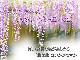 藤のお花と香りが楽しめる 鉢植え 藤盆栽 4月〜5月に開花