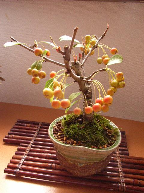 盆栽:深山海棠 【盆栽】 ミヤマカイドウ