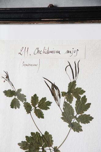 Officina Naturalisハーブ額絵M Chelidonium Majus