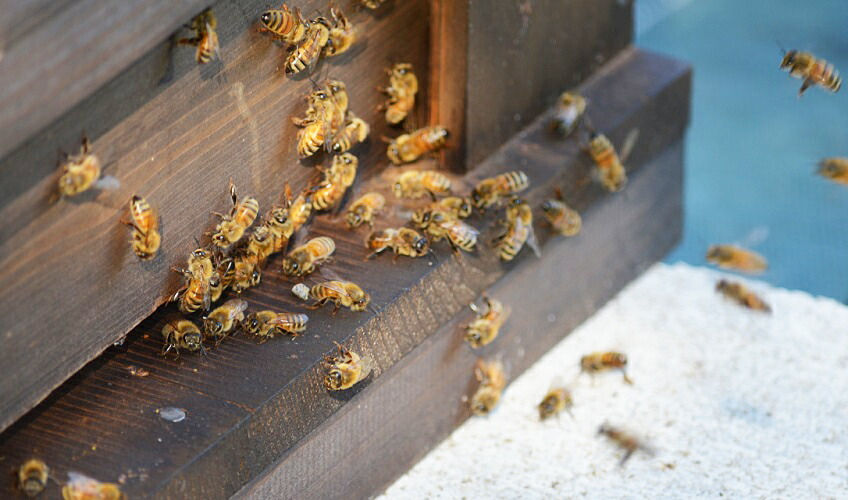 【百花蜜 500g】 丹波篠山で採れた100%天然の生ハチミツ 篠山蜂蜜