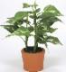 観葉植物 インテリアグリーン フェイク 人工観葉植物 光触媒 カントリ−ポトス  《アートグリーン》