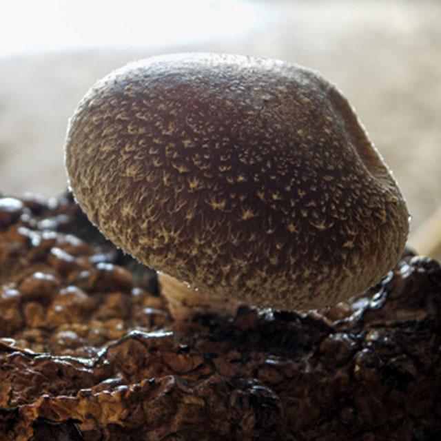 しいたけ 椎茸  約 200g 無農薬 菌床 肉厚 大きい 生 椎茸 栽培20年以上 橋場農園 飛騨 高山