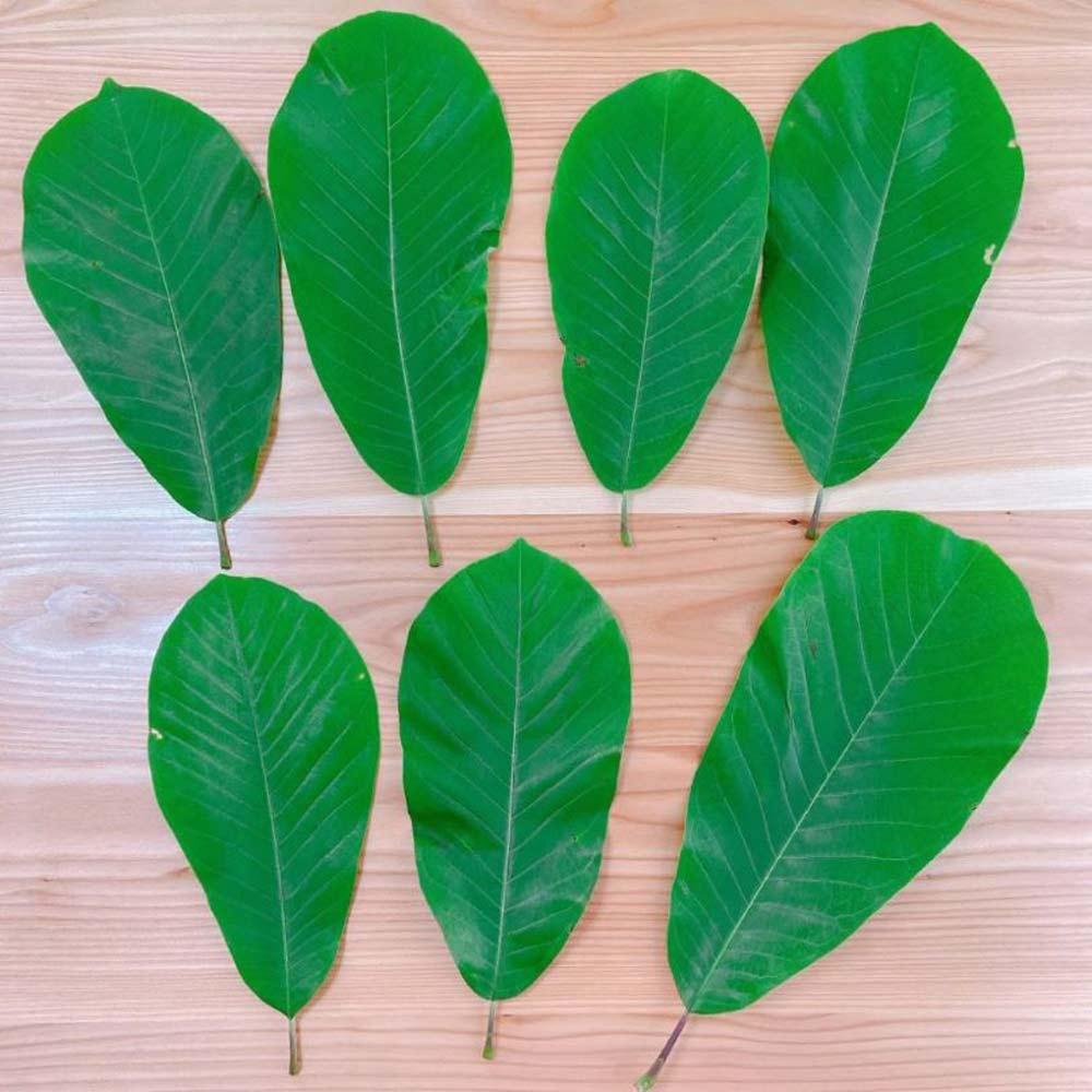 朴の葉  約10枚  飛騨産 朴葉 ほうば ほおば ほうのは ほおのは ほうの葉 ほう葉 ほおの葉 ほお葉 高山 岐阜 5月下旬〜7月初旬