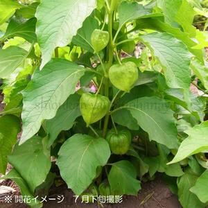大実ホオズキ 10.5cmポット仮植え苗【切り花用・食用不可】