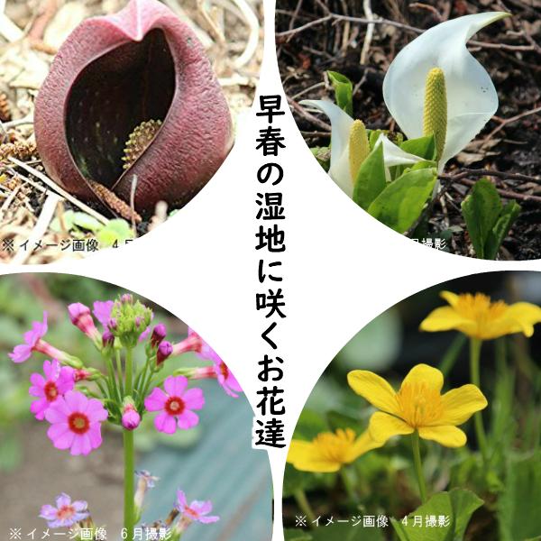 おすすめ苗セット:早春の湿地に咲くお花達植栽 仮植えを4種セット【ザゼンソウ・ミズバショウ・エンコウソウ・クリンソウ】※根回りしていません