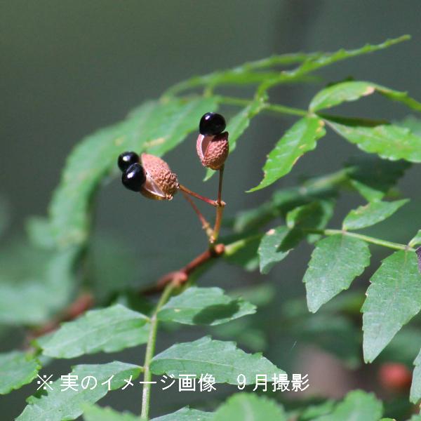 サンショウ 9cmポット苗 樹木苗/山椒/雄雌選別前の幼苗/※9/18落葉しました