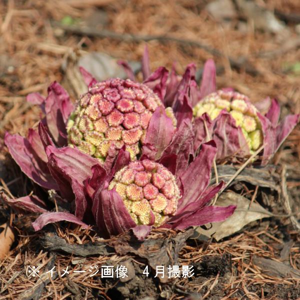 赤花フキノトウ 10.5cmポット仮植え苗