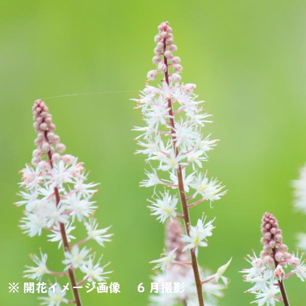 ティアレア ピンクスカイロケット 10.5cmポット苗 宿根草/新商品/ティアレラ/※今季開花終了