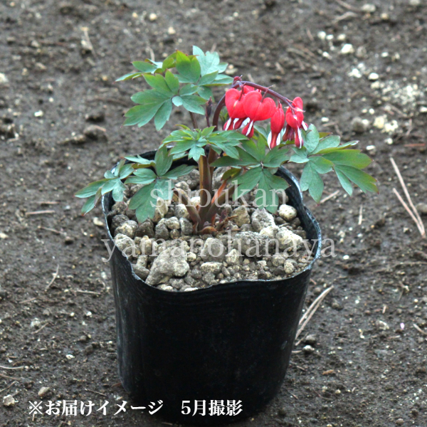 赤花ケマンソウ[タイツリソウ]''バレンタイン'' 10.5cmポット仮植え苗