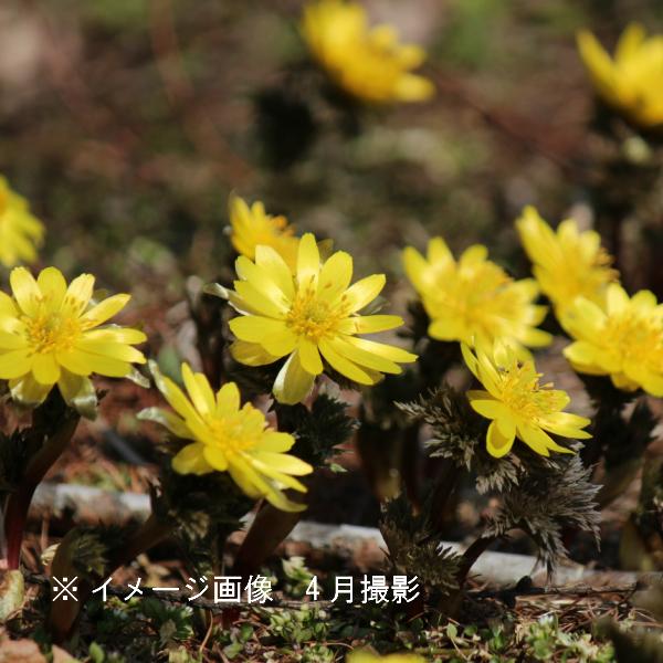 フクジュソウ 9cmポット苗  山野草/耐寒性多年草/福寿草/正月花/※今季開花終了