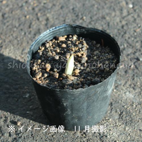 フクジュソウ 9cmポット仮植え苗