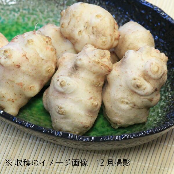 岩手県産キクイモ 18cmポット苗 白菊芋/栽培期間中農薬不使用/山菜苗