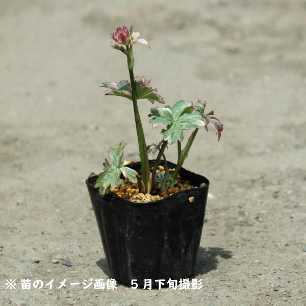 アストランティア スターオブマジック 9cmポット苗  斑入り品種/新商品/アストランチア/※今季開花終了