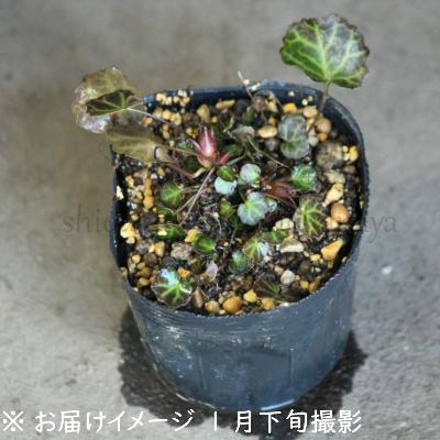 (1ポット)イワウチワ 7.5〜9cmポット苗 <br>山野草/耐寒性多年草/岩団扇/※4/3開花中