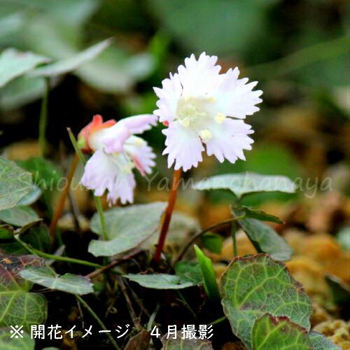 イワウチワ 7.5〜9cmポット苗 山野草/耐寒性多年草/岩団扇/※今季開花終了