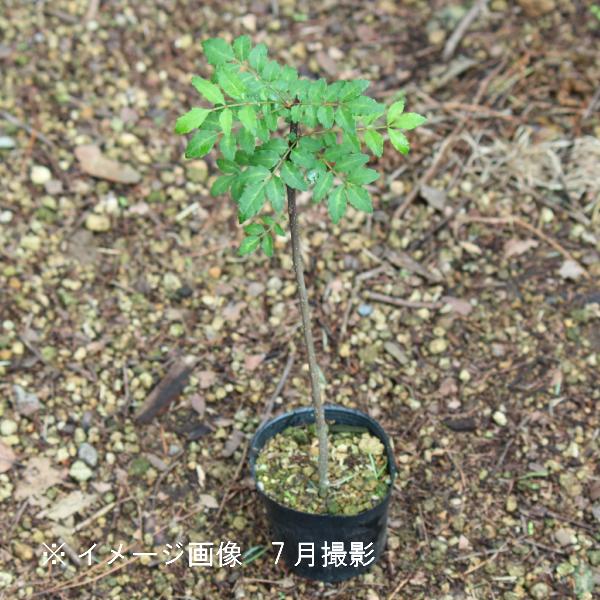 サンショウ 10.5cmポット苗 樹木苗/香辛料/山椒/雄雌選別前の幼苗/※9/18落葉しました
