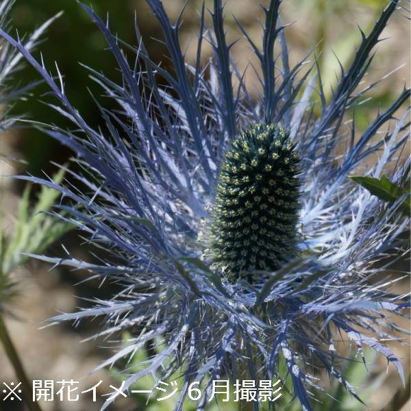 エリンジューム ブルースター 9cmポット苗 宿根草/耐寒性多年草/新商品/エリンジウム/植え付け後1年後以降の開花見込み苗