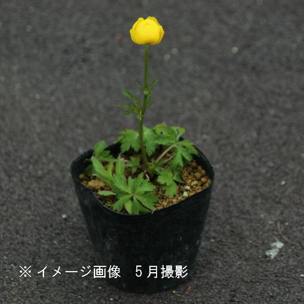 タマザキキンバイ[トロリウス] 9cmポット苗