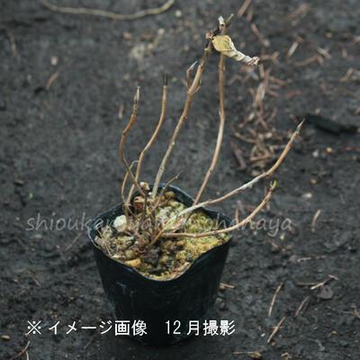 クレナイアジサイ 10.5cmポット苗 樹木苗 /紅紫陽花/※今季開花終了
