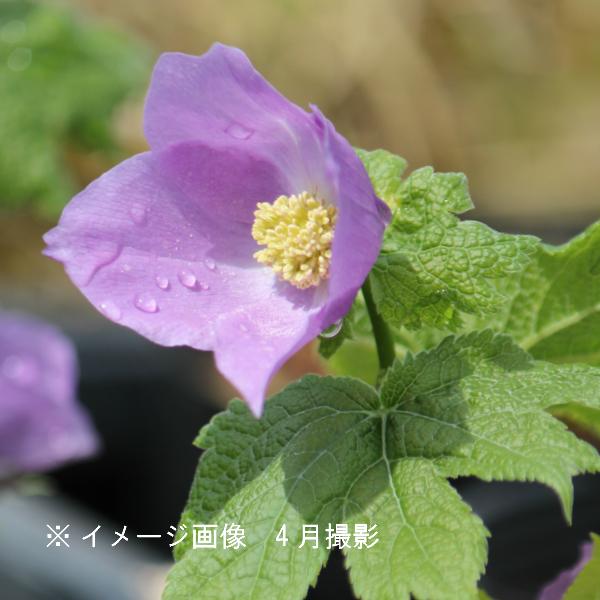 シラネアオイ 10.5cmポット苗 山野草/耐寒性多年草/白根葵/※今季開花終了