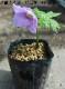 シラネアオイ 10.5cmポット仮植え苗 ※植えたばかりで根回りしていません