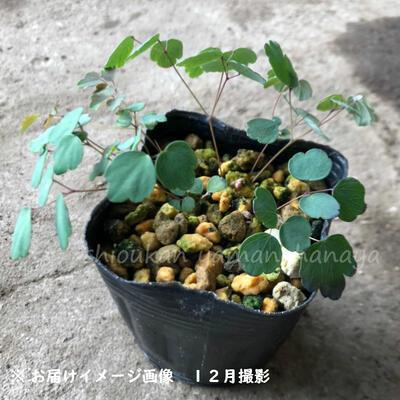 台湾バイカカラマツ 紫花系 9cmポット苗 宿根草/四季咲き性/台湾梅花唐松