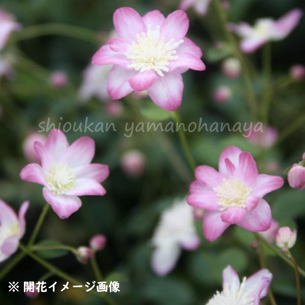 台湾バイカカラマツ 赤花系 9cmポット苗  宿根草/四季咲き性/台湾梅花唐松