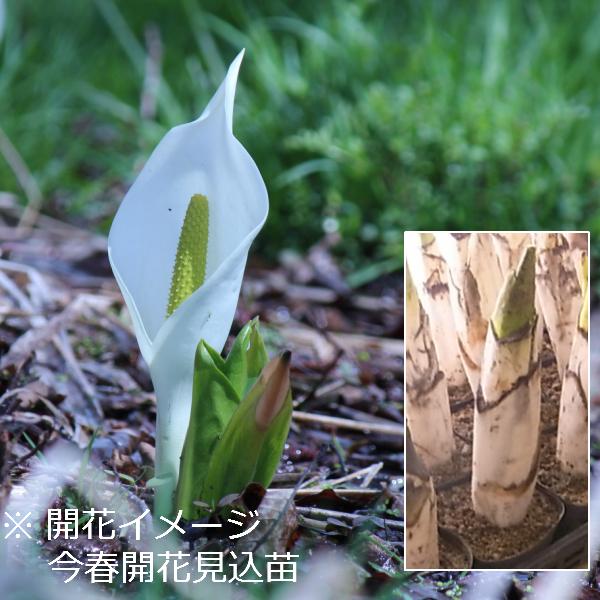 ミズバショウ 12cmポット花芽付き大株仮植え苗